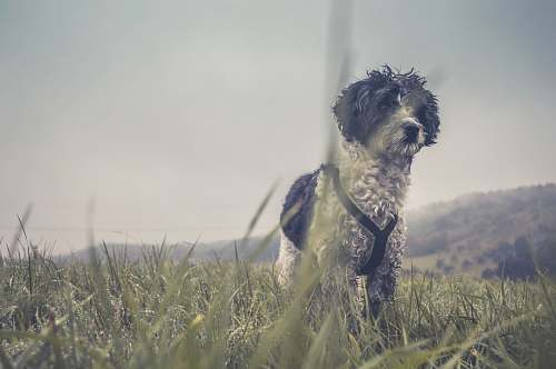 grass adult long-coated white and black terrier on grass field dog