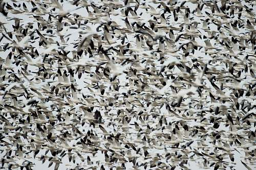 birds flock of white-and-black birds flock
