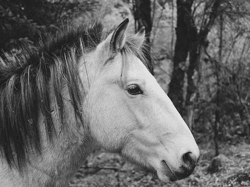 photo black-and-white grayscale photography of horse horse free for commercial use images
