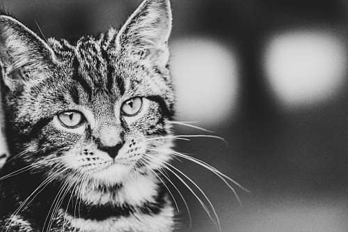 black-and-white grayscale photography of tabby cat cat