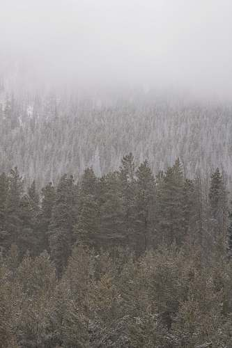 forest green trees surrounded by snow fog