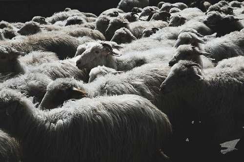 animal herd of white sheep gang