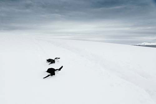 animal penguin on snow antarctica