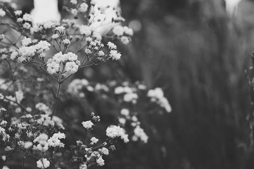 black-and-white petaled flowers in grayscale photo blossom