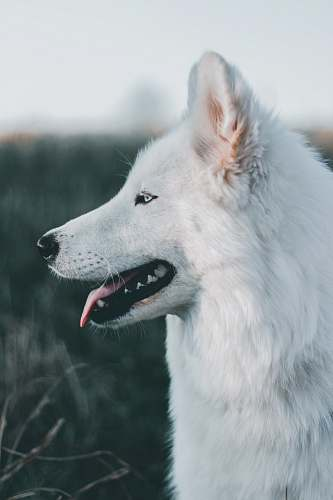 animal shallow focus photography of long-coated white dog dog