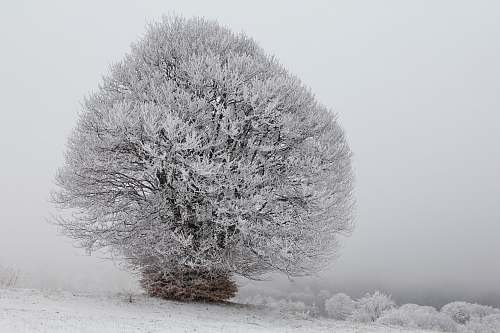 black-and-white snow frosted tree frost