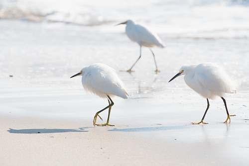 bird three white birds walking on white sand on seashore during daytime heron