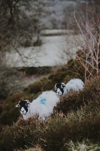animal two white-and-black sheeps overlooking body of water during daytime bird