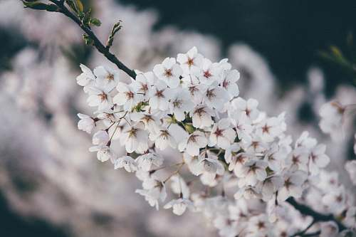 flower white cherry blossom flowers blooming blossom