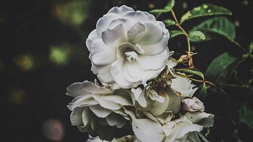 geranium white petaled flowers white rose at botanic gardens