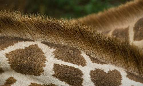 animal closeup photo of giraffe's back africa