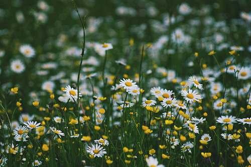 flower white petaled flower field at daytime daisy