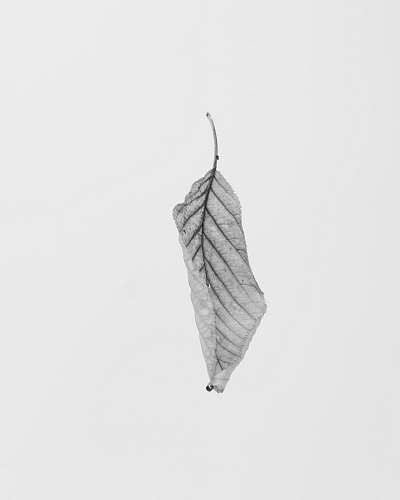 photo white grayscale of leaf black-and-white free for commercial use images