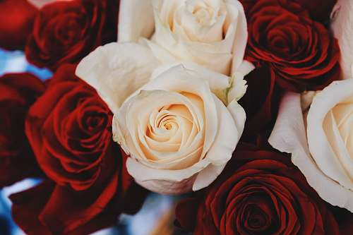 human shallow focus photography of red and beige roses person