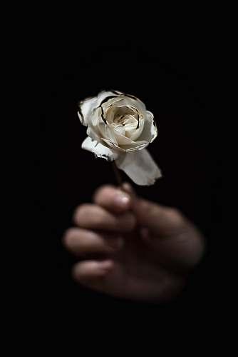flower person holding white rose rose