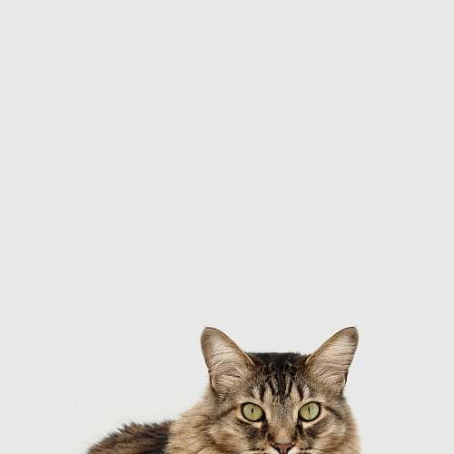 animal brown and white tabby cat cat