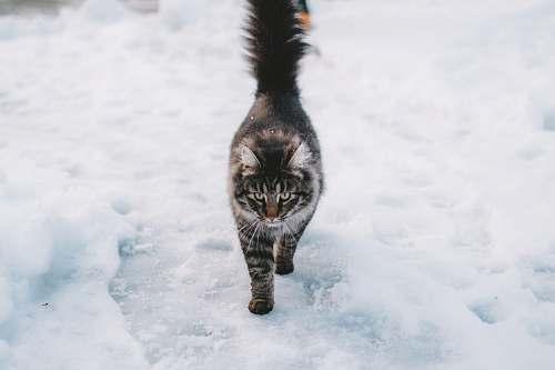 cat brown maine coon cat norway