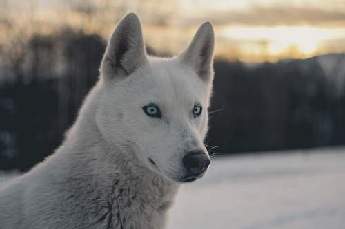 canine white wolf shallow focus photography dog