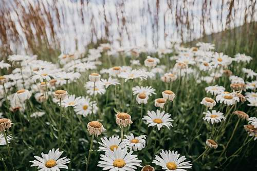 blossom blooming white and yellow daisy flowers daisies