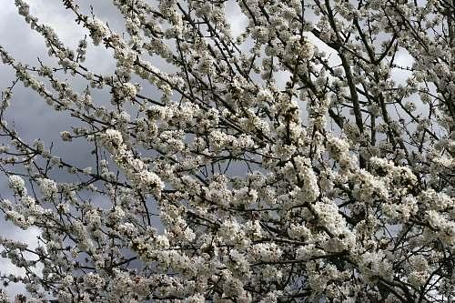 flower blooming white flowering tree blossom
