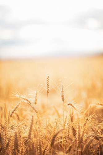 field brown grasses vegetation