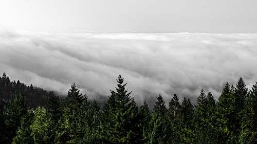 abies cloudy sky above the trees fir
