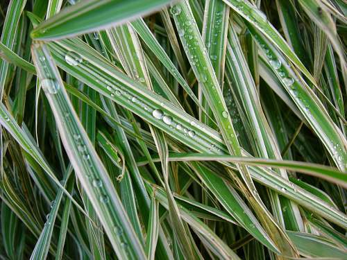 grass dew on linear leafed grass agavaceae