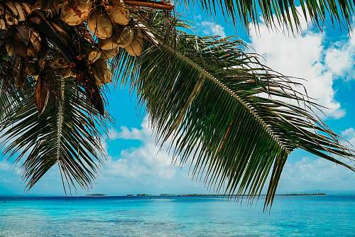 summer green and brown coconut palm tree panama