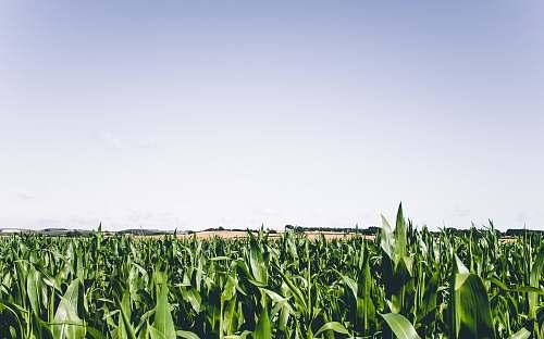 nature green corn plant field