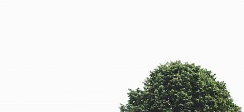 tree green leaf tree conifer