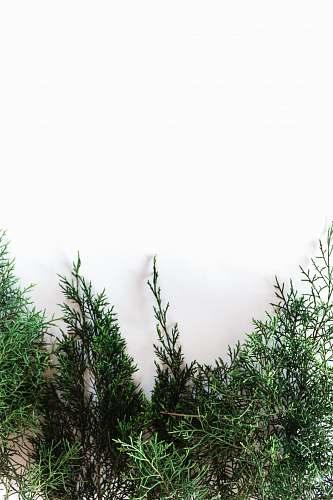 tree green-leafed plant conifer