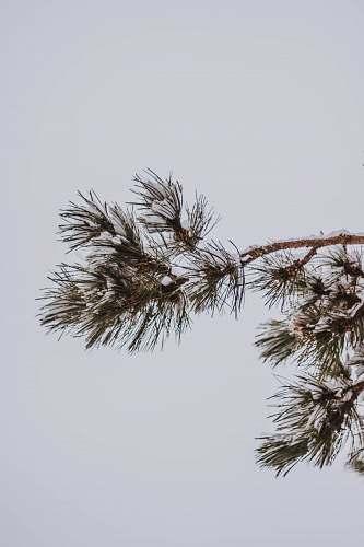 nature green spruce pine tree tree