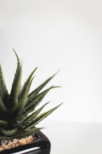 food green succulent plant aloe
