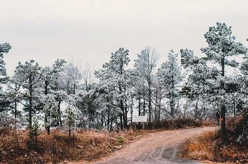 abies green trees under white sky fir
