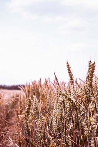 food photo of brown wheat vegetation