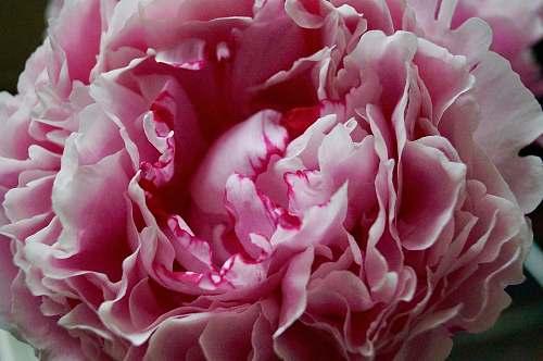 flower pink flower blossom