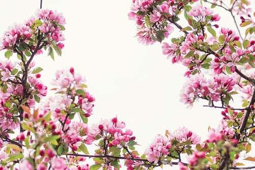 blossom pink petaled flowers spring