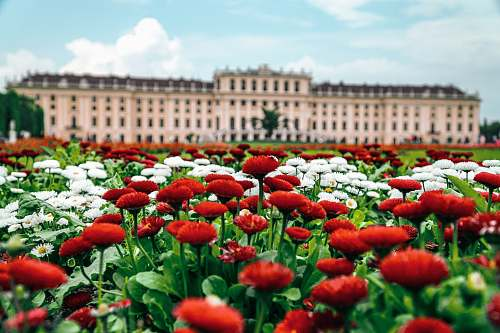 blossom red and white flowered field in front of palace flower