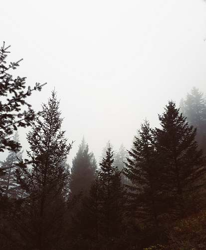 photo abies trees with fog fir free for commercial use images