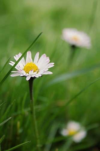 flower white daisy flower blossom
