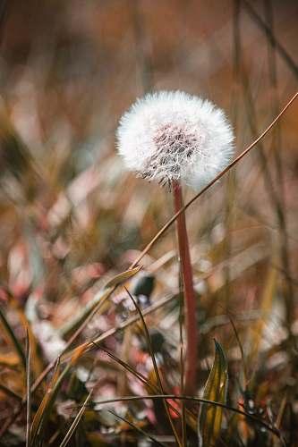 dandelion white dandelion blossom