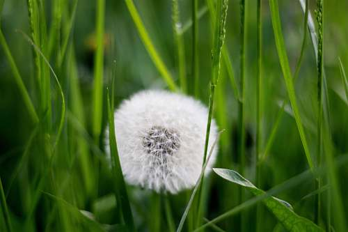 flower white dandelion dandelion