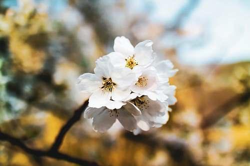 pollen white dogwood blossoms blossom