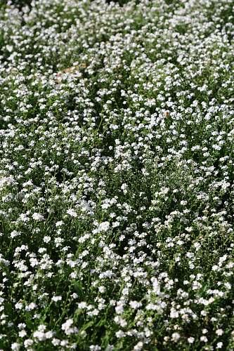 blossom white flower field flower