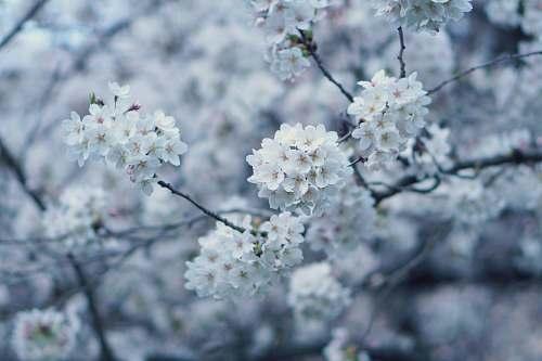 blossom white flowers flower