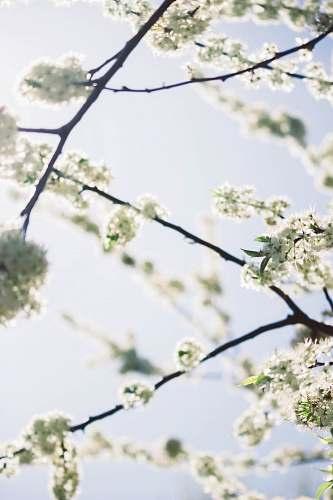 blossom white leafed tree flower