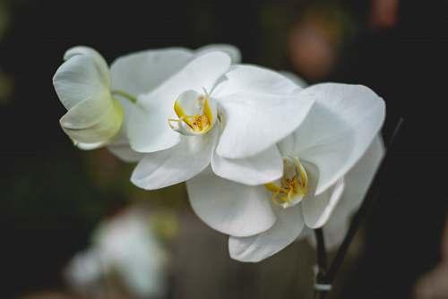 flower white moth orchid pollen
