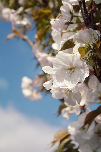 flower white petal flowers blossom