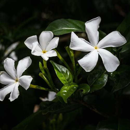 flower white petaled flower bloom close-up photography acanthaceae