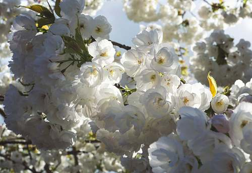 blossom white petaled flowers close-up photography spring